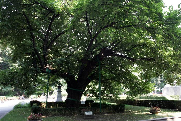 Teiul lui Eminescu din Parcul Copou-Iaşi